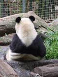 Giant Panda. How rude! There are hundreds of visitors come to San Diego Zoo each day to look at the Giant Panda and all he can do is show his back to everyone Stock Images