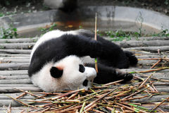 Giant Panda Royalty Free Stock Images