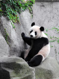 Giant Panda. A lovely giant panda sitting on a rock Royalty Free Stock Photography