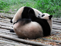 Giant Panda. Two lovely giant panda play together Stock Photography