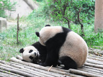 Giant Panda. Play together, China Royalty Free Stock Photos