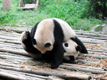Giant Panda. Two gant panda play together Royalty Free Stock Photo