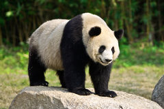 GIANT PANDA. A giant panda stands on a rock stock images