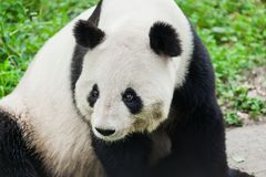 Free Giant Panda Stock Photos - 140451723