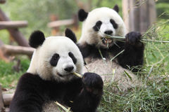 Giant Panda. Two giant panda eating bamboo Stock Photos