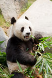 Giant Panda Stock Photos