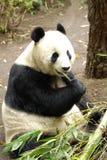 giant panda Στοκ εικόνες με δικαίωμα ελεύθερης χρήσης