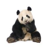 Giant Panda (18 months) - Ailuropoda melanoleuca. Giant Panda  (18 months)  - Ailuropoda melanoleuca in front of a white background Stock Photography