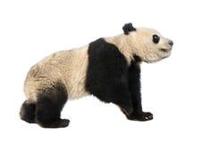 Giant Panda (18 months) - Ailuropoda melanoleuca Royalty Free Stock Photos