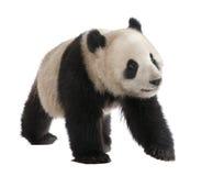 Giant Panda (18 months) - Ailuropoda melanoleuca Royalty Free Stock Images