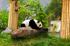 Giant Panda. A giant panda rests on stone, Photographed at Wolong Nature Reserve, Chengdu, Sichuan Provence, China Stock Photos