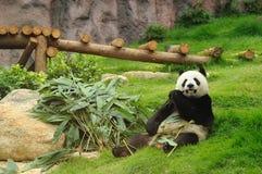 Giant panda. Eating bamboo leaf Stock Photos