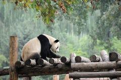 Free Giant Panda Stock Image - 21494141