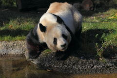 Giant panda. The looking up giant panda at water Stock Images