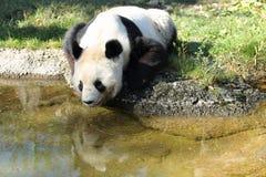 Free Giant Panda Royalty Free Stock Images - 21681569