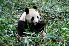 A giant panda Royalty Free Stock Photography