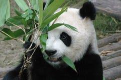 Giant panda. Cute giant panda eating bamboo in china Royalty Free Stock Photography