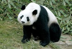 Free Giant Panda Royalty Free Stock Photography - 2250187