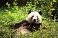 Giant panda Royalty Free Stock Image