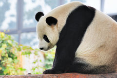 Giant Panda Royalty Free Stock Photos