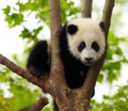 Giant panda. Baby over the tree Royalty Free Stock Photo