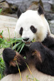 Giant Panda. The panda also known as the giant panda to distinguish it from the unrelated red panda, is a bear native to central-western and south western China Royalty Free Stock Photo
