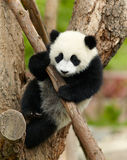 Giant panda. Baby over the tree Stock Photo