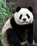 A giant panda. Stand on a branch looked at us stock images