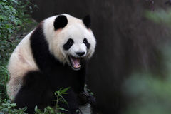 A giant panda. Stand on a branch open Royalty Free Stock Photos