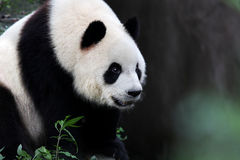 A giant panda Royalty Free Stock Photos