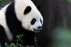 A giant panda Royalty Free Stock Photos