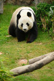 Giant Panda. Habitat loss is the great cause of the decline of the giant panda. Large areas of China's natural forest have been cleared for agriculture, timber Stock Images