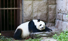 Giant panda. S in a nap Stock Photography