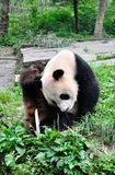 Giant Panda. Scratching itchy.The giant panda breeding base, yaan, sichuan, China Royalty Free Stock Image