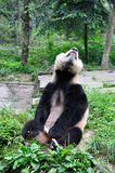 Giant Panda. Roars panda.The giant panda breeding base, yaan, sichuan, China Royalty Free Stock Image