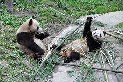 Two giant panda is eating bamboo. Royalty Free Stock Photo