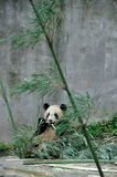 Giant Panda. The giant panda is eating bamboo。The giant panda breeding base, yaan, sichuan, China Stock Image