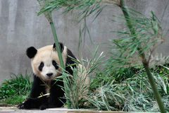 Shy of the giant Panda. Timid giant panda。The giant panda breeding base, yaan, sichuan, China Royalty Free Stock Images