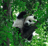 Giant pandas climb sleeping in the tree. Royalty Free Stock Photos