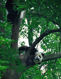 Giant Panda. Sleeping giant panda.The giant panda breeding base, yaan, sichuan, China Royalty Free Stock Photos