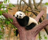 Giant panda. Baby over the tree royalty free stock image