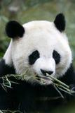 Giant Panda. The Chinese Giant Panda Bear Stock Photography
