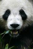 Giant Panda. The Chinese Giant Panda Bear Stock Image