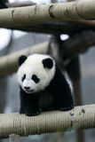 Giant Panda. The Chinese Giant Panda Bear Royalty Free Stock Photos