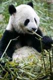 Giant Panda. The Chinese Giant Panda Bear Stock Photos