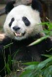 Giant Panda. A close up shot of the Giant panda Royalty Free Stock Photography