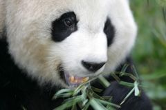 Giant Panda. A close up shot of a giant panda, motion blur Stock Photo