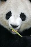 Giant Panda. A close up shot of a giant panda Stock Images