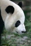 Giant Panda. A close up shot of a giant panda Stock Photos