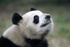 Giant Panda. A close up shot of a giant panda Stock Photography
